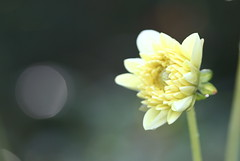 Amaneciendo (leograttoni) Tags: naturaleza nature jardín garden dalia airelibre la plata buenos aires