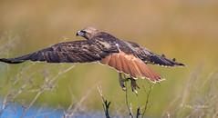 Fly-away Red-tail (Explored) (Rick Derevan) Tags: california mercednationalwildliferefuge mercednwr mercedwildliferefuge mnwr bird raptor hawk redtailedhawk buteojamaicensis