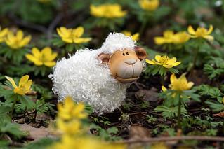 Schaf und Winterlinge
