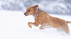 'Snowbound' (Jonathan Casey) Tags: labrador lab red fox nikon d850 200mm f2 vr