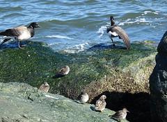 rock cummunity DSC01855 (clausholzapfel) Tags: purple sandpiper brant goose ruddy turnstone
