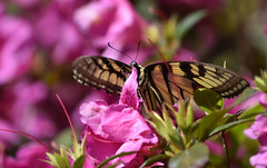 Resting Butterfly (Sarah Constancia Photography) Tags: pollen insect flower azalea butterfly