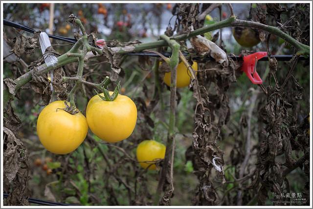 善化草莓 來去晴空農場找無農藥栽種的草莓 (19)