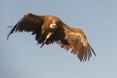 Eurasian Griffon - Sierra de Andujar - Spain (wietsej) Tags: eurasian griffon sierra de andujar spain rx10 iv rx10m4 vale gier bird flight bif nature rx10iv