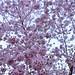 臺灣,桃園市,復興區,拉拉山風景區,拉拉山,恩愛農場,櫻花