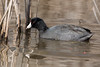 American Coot (grobinette) Tags: coot huntleymeadowspark huntleymeadows americancoot