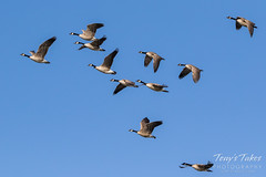 Canada Geese looking for a landing spot