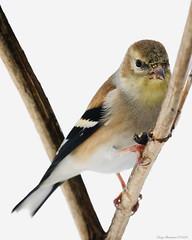American Goldfinch (CoreyBourassaPhoto) Tags: 7d 7dmarkii 7dmii canon dslr ef100400f4556lisusm eos eos7dmii winter americangoldfinch bird goldfinch outdoors snow