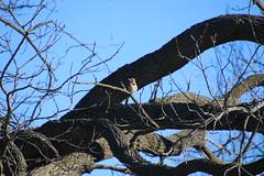 Common Flicker Pictures from March 2018 (Saline Michigan) (cseeman) Tags: commonflicker commonyellowshaftedflicker yellowshafted cold suetfeeder feeder birds michigan saline backyard woodpecker commonflicker032018