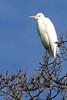 Ardea alba, GREAT EGRET (openspacer) Tags: ardea bird egret jasperridgebiologicalpreserve jrbp