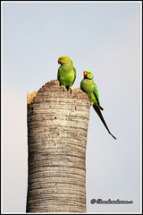 7684 - parakeets (chandrasekaran a 50 lakhs views Thanks to all.) Tags: parakeet birds nature india chennai canoneos6dmarkii tamronsp150600mmg2