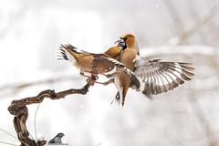 Coccothraustes coccothraustes (nonnogrizzly) Tags: coccothraustescoccothraustes frosone uccelli aves birds natura fauna bosco albero