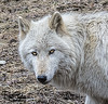 Wolves_Feb172018_0021 (Roni Chastain Photography) Tags: wolf wolfconservationcenter wolves standforwolves wildlife wildanimal captive