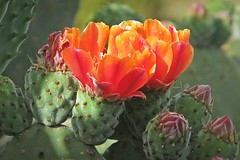 opuntia flowers :) (green_lover) Tags: opuntia flowers blossom cactus plants tenerife canaryislands spain buds two orange