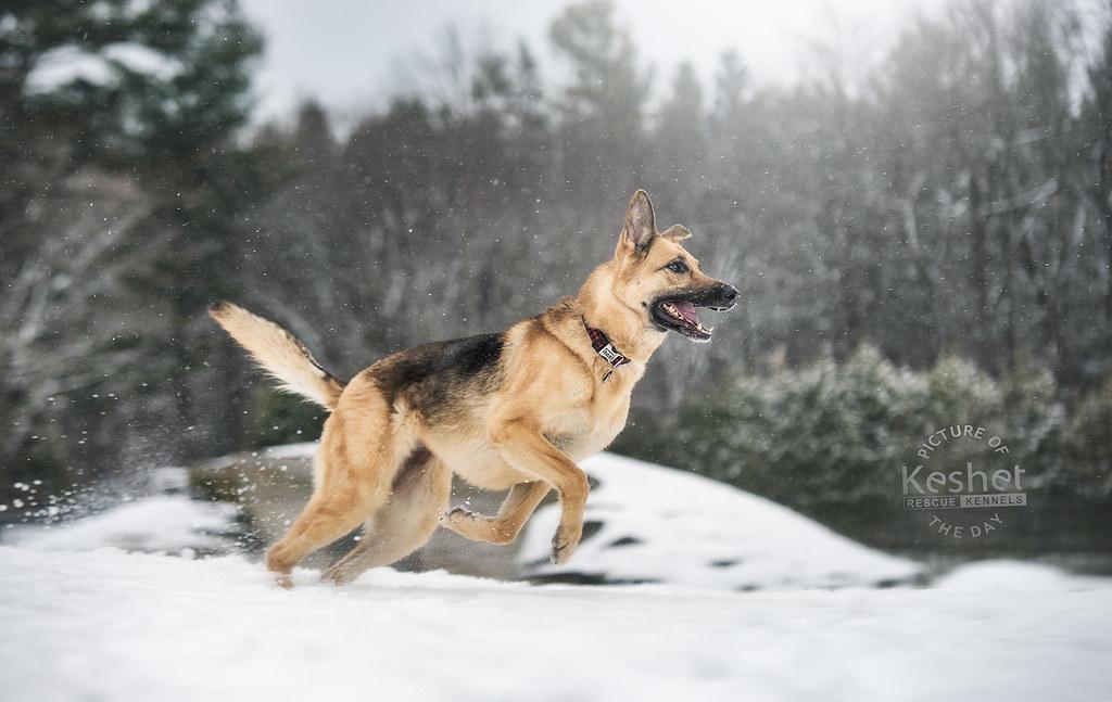 Labrador Rescue Dogs Ontario