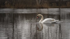 The Icy Surface is Growing (Stefan Zwi.) Tags: schwan swan lake see teich wasser water winter ice eis pond ngc npc