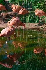 waiting wading flamingos (johngpt) Tags: fujifilmxt1 water fujinonxf55200mmf3548rlmois abqbiopark pond bird flamingos smileonsaturday beautyofthebeast hsos