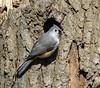 Tufted Titmouse (jt893x) Tags: 150600mm baeolophusbicolor bird d500 jt893x nikon nikond500 sigma sigma150600mmf563dgoshsms songbird titmouse tuftedtitmouse alittlebeauty coth thesunshinegroup coth5