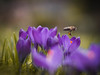Nearly done... (ursulamller900) Tags: helios442 crocus krokus mygarden bokeh purple bee biene spring frühling