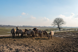 Konik horses in the Brabantse Biesbosch