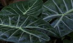 Veins (Violet aka vbd) Tags: pentax k3 vbd hdpentaxda55300mmf4563edplmwrre il illinois leaves leaf lincolnparkbotanicalgarden chicago abstract 2018 winter2018 handheld manualfocus botanical