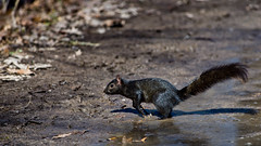 Squirrel Crossing (ramseybuckeye) Tags: black gray squirrel blendon woods columbus ohio nature wildlife