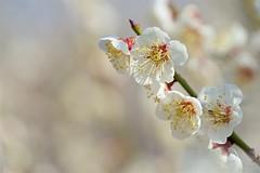 ウメ Japanese apricot (takapata) Tags: sony sel90m28g ilce7m2 macro nature flower