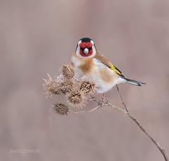 What are U looking at ?!?!?! (JurgenMaassen) Tags: goldfinch cardueliscarduelis stieglitz putter distelvink birding birds nature leica lumix panasonic panasonicdcg9 leicadg100400f4063