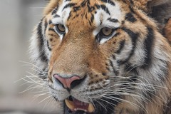 Up close and personal (stephanieswayne1) Tags: midas personal up close looking eyes head face zoo columbus cat big animal wild endangered stripes young male tiger siberian amur
