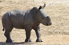 DSC_4693 (Andrew Nakamura) Tags: animal mammal rhino rhinoceros southernwhiterhino whiterhino whiterhinoceros rhinocalf sandiegozoosafaripark safaripark escondido