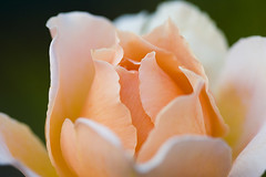 Rose (Wildeye Photography) Tags: macro rose flower nature closeups beauty