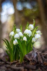 opened today (Tschissl) Tags: pflanzen flowers austria vintagelens leoben location primoplan1958 blumen steiermark österreich