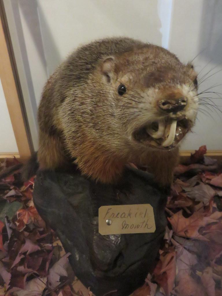 Woodchuck Natural History