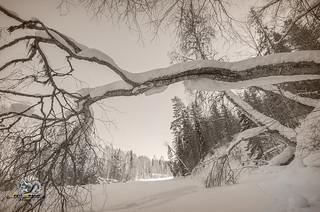 falling tree in a winter landscape