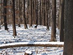 erdei nesz / listening to forest noises (debreczeniemoke) Tags: tél winter erdő forest fa tree kutya dog erdélyikopó transylvanianhound frakk nesz noises olympusem5