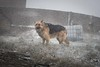 whisky snow wall-0085 (Nick Vidal-Hall) Tags: whisky dog alsation snow