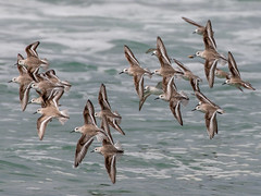 Sanderlings (Eric Zumstein) Tags: pointdume malibu california unitedstates us sanderlings