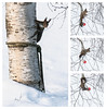 Petit déjeuner ... (sosivov) Tags: sweden snow winter trees animal squirrel montage