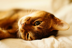 Lizzie in bed (DizzieMizzieLizzie) Tags: abyssinian aby beautiful wonderful lizzie dizziemizzielizzie portrait cat chats feline gato gatto katt katze katzen kot meow pisica sony animal pet cute bed siesta yellow neko macska kedi 猫 kočka kissa γάτα köttur kucing kaķis katė кошка mačka gatos kitteh chat ネコ beauty a6500 zeiss fe 55mm f18 za ilce6500 ilce sel55f18z sonnar awesome digital golden style 2018 bokeh