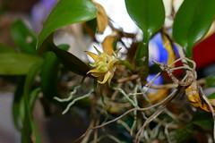 Bulbophyllum odoratissimum species orchid (nolehace) Tags: bulbophyllum odoratissimum species orchid 218 winter nolehace sanfrancisco fz1000 flower bloom plant