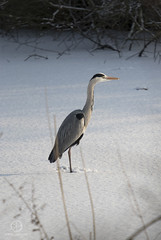 Waiting for the Catch (kristianoosterveen) Tags: ardea cinerea grey heron grijze reiger amstel park amsterdam noordholland noord holland north netherlands nederland vogel prooi vangst catch prey standing still snow sneeuw stilstaand stil staand rustig winter wit grijs white nature natuur blauwe blue water ditch sloot