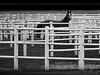 paddock (heinzkren) Tags: schwarzweis blackandwhite bw sw monochrome panasonic wien vienna animal tier pferd horse racehorse rennpferd koppel paddock liniel lines zaun gatter lumix pferch