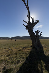 Tree Shadow Puppetry (Keith Midson) Tags: tree sun rural tasmania field australia deadtree