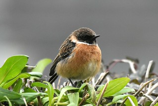 Male stonechat on a winter's day