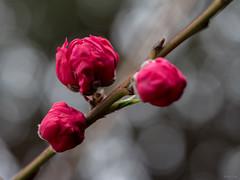 Peppermint Peach Blossoms (Phet Live) Tags: phet live panasonic dmcgx8 olympus m60mm f28 blossom