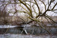 Sur la Rigole de Widensolen (Clydomatic) Tags: coursdeau rigole arbrecouché arbre froid hiver neige eau branches