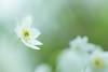 L'herbe du vent... (Missy Karine) Tags: ngc flower anemone wild picoftheday bokehlicious macroflowerlovers macrophotography macro canon100mm nature expositionnaturelle green vegetal anemonesylvestris