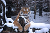 He obviously feels comfortable in the wintry atmosphere (Fisherman01) Tags: amurtiger zoozürich