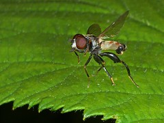 Rolf_Nagel-Fl-3017-Tropidia_scita (Insektenflug) Tags: tropidiascita tooththighedhoverfly keulengrashalmschwebfliege kølsvirreflue tropidia scita tooththighed hoverfly keulen grashalmschwebfliege schwebfliege køl svirreflue flight flying fliegend entomology wildlife syrphid insects airborne wilhelmshaven diptera deutschland fauna fliege fliegen flug germany niedersachsen insekt insekten insektenflug syrphidae insect imflug inflight minoltaerokkor75mm erokkor minolta rokkor 75mm envole en vole