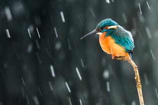 Eisvogel/ Kingfisher
